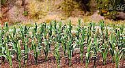 Faller 181250 OO/HO Scale 36 X MAIZE/CORN PLANTS - APPROX HEIGHT 25 mm