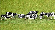 Faller 151904 HO/OO 1-87 Scale Figures COWS FRIESIAN BLACK/WHITE X 8 FIGURE SET